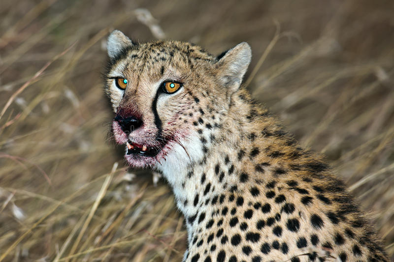 Download Muzzle Cheetah Smeared In The Victim's Blood Stock Image - Image: 15610761