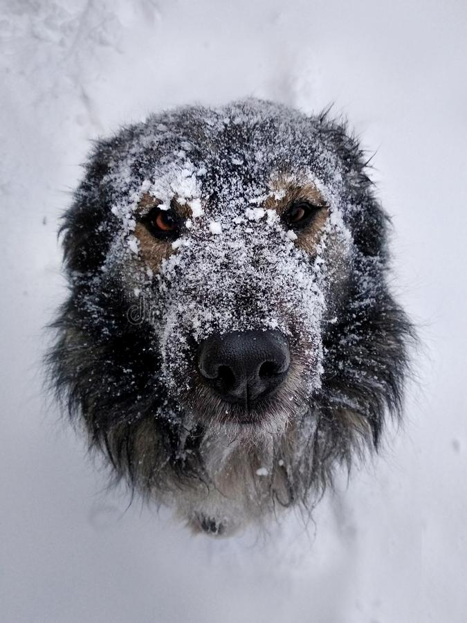 Free Muzzle Dogs In The Snow Close-up In Winter. Royalty Free Stock Photos - 159319508