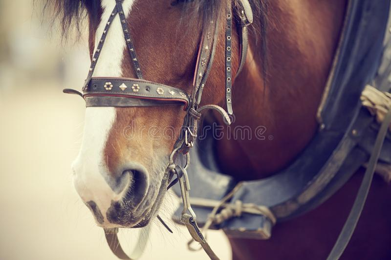 The muzzle is draught horse harnessed to a carriage stock image