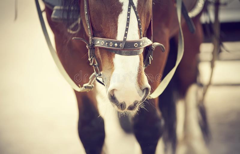 The muzzle is draught horse harnessed to a carriage stock photo