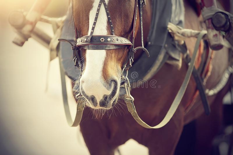 The muzzle is draught horse harnessed to a carriage stock photos