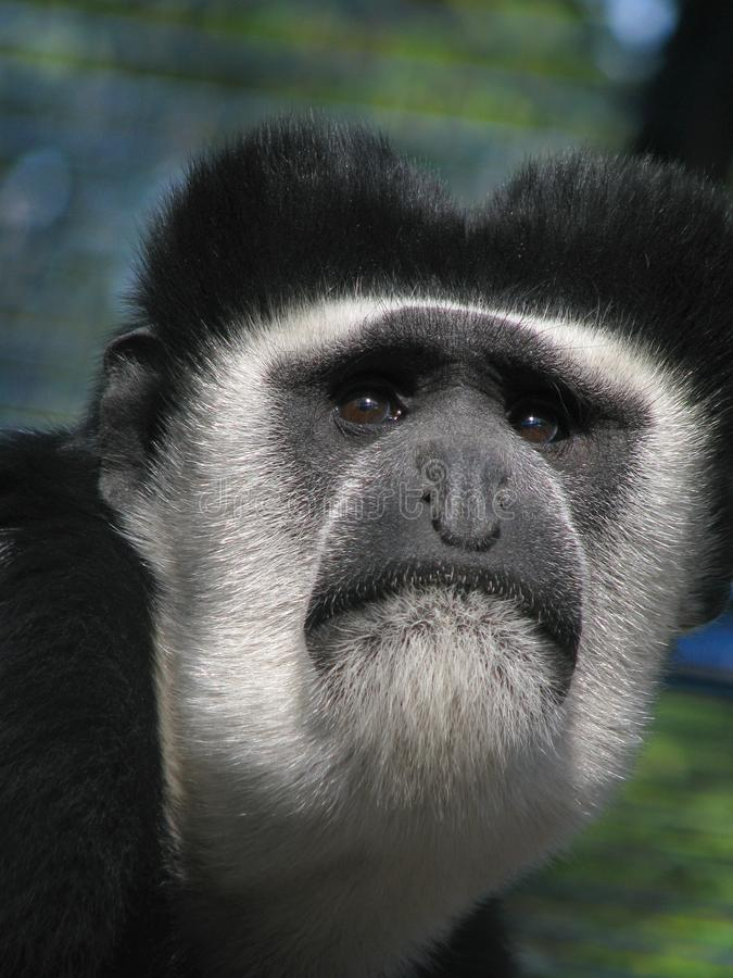 Download Muzzle Of Eastern Black-and-white Colobus Stock Photo - Image: 17050982