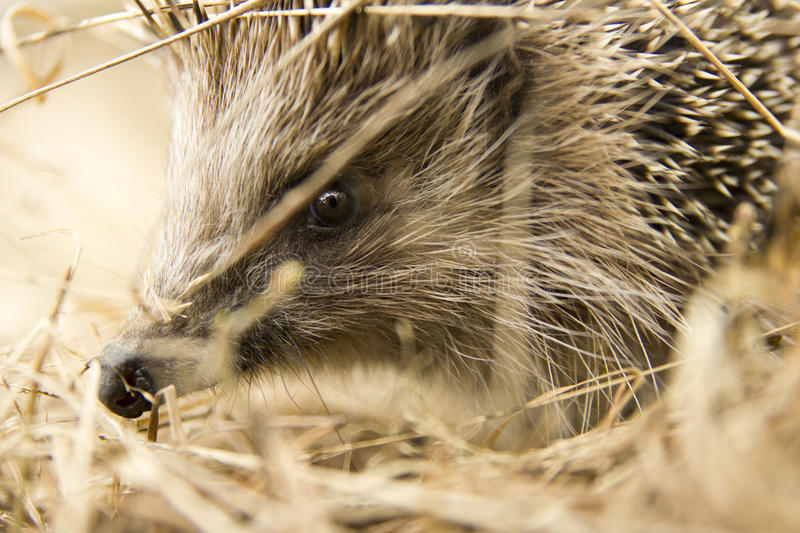 The muzzle of the European wild hedgehog in the hay royalty free stock photos