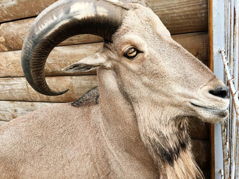 Muzzle goat with horns stock image