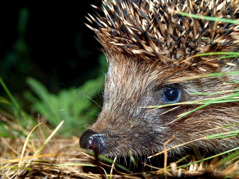 Muzzle of a hedgehog. Picture of a muzzle of a hedgehog close up against a dark background royalty free stock image