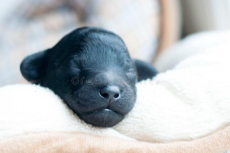 Muzzle of a newborn puppy stock photography