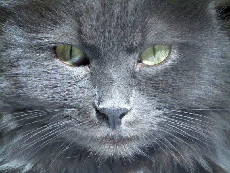 Muzzle of a Nibelung cat closeup royaltyfria bilder