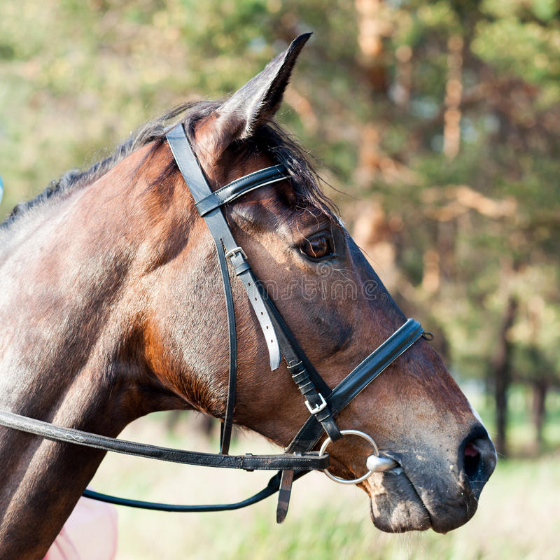 Free Muzzle Of Brown Horse Royalty Free Stock Image - 56779546