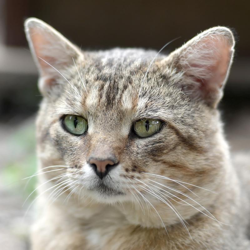 Sad muzzle portrait of a grey striped tabby cat with green eyes, selective focus. Muzzle portrait of a grey striped tabby cat with green eyes, selective focus royalty free stock photos