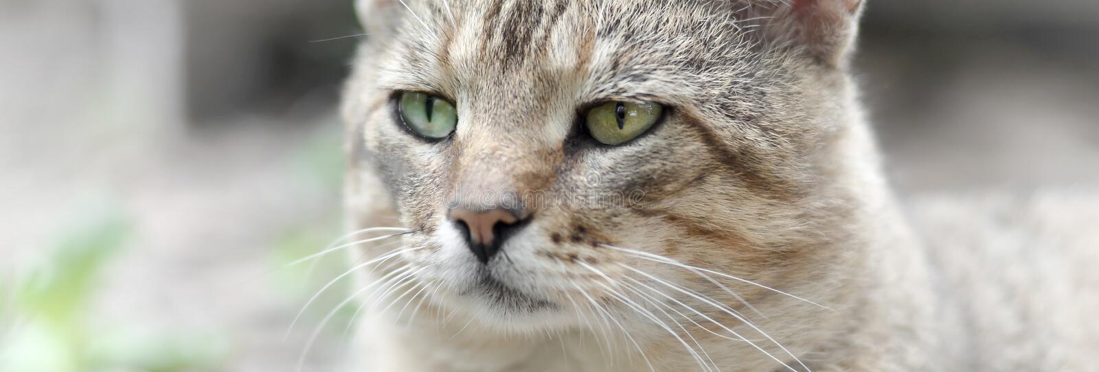 Sad muzzle portrait of a grey striped tabby cat with green eyes, selective focus. Muzzle portrait of a grey striped tabby cat with green eyes, selective focus royalty free stock image