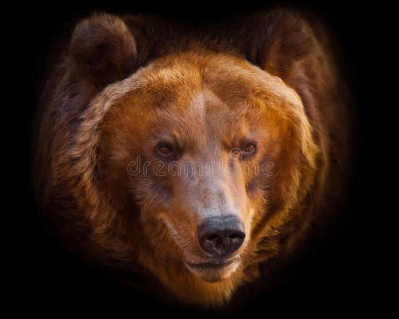 A portrait of a huge bear in the whole frame, the beast is huge and illuminated by the sun. Isolated on black background royalty free stock photos