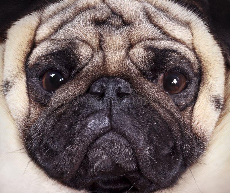 Muzzle pug royalty free stock images