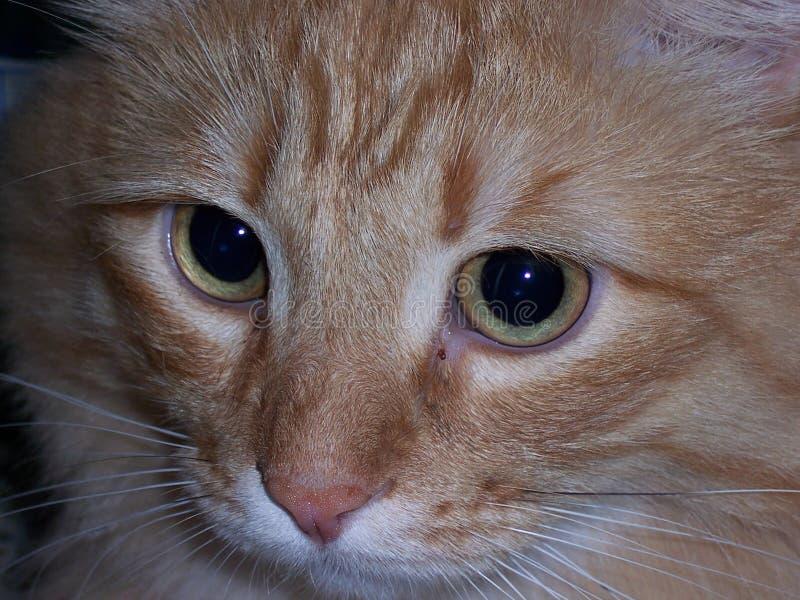 Muzzle red cat close-up. Macro Photo.  royalty free stock photos