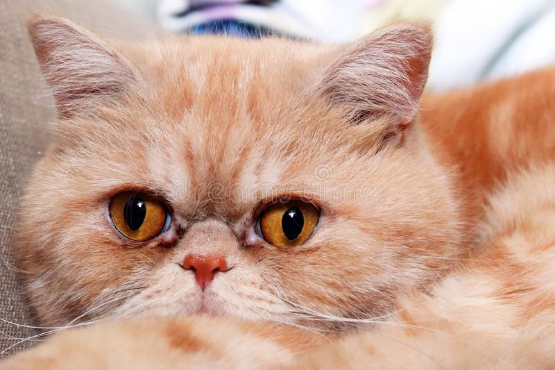 Cat exotic breed. Muzzle of a red cat exotic breed closeup stock photography