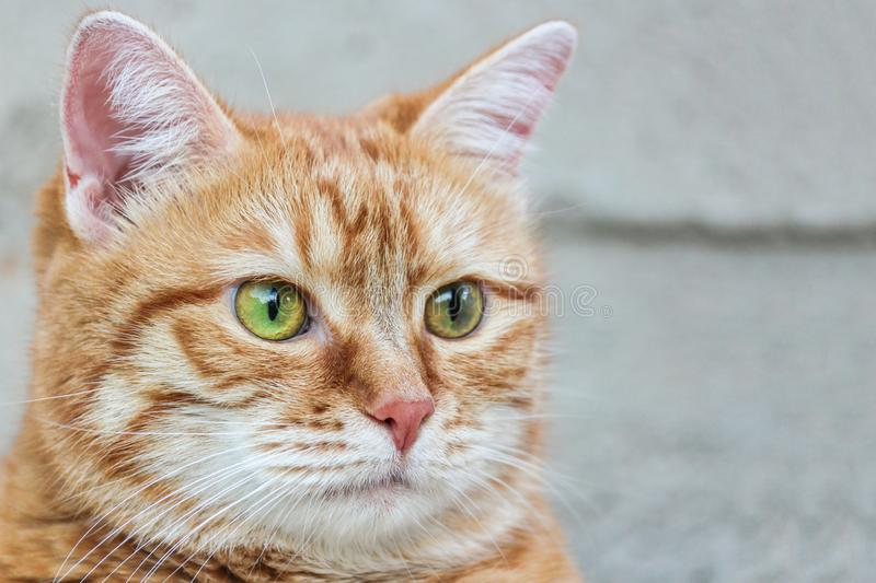 Muzzle red cat with watchful green eyes staring. Close up. Selective focus.  royalty free stock image