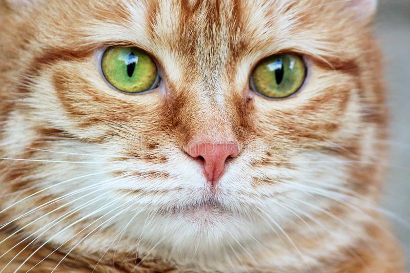 Muzzle red cat with watchful green eyes staring. Close up. Selective focus.  stock photography