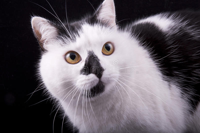muzzle of white and black cat closeup royalty free stock image