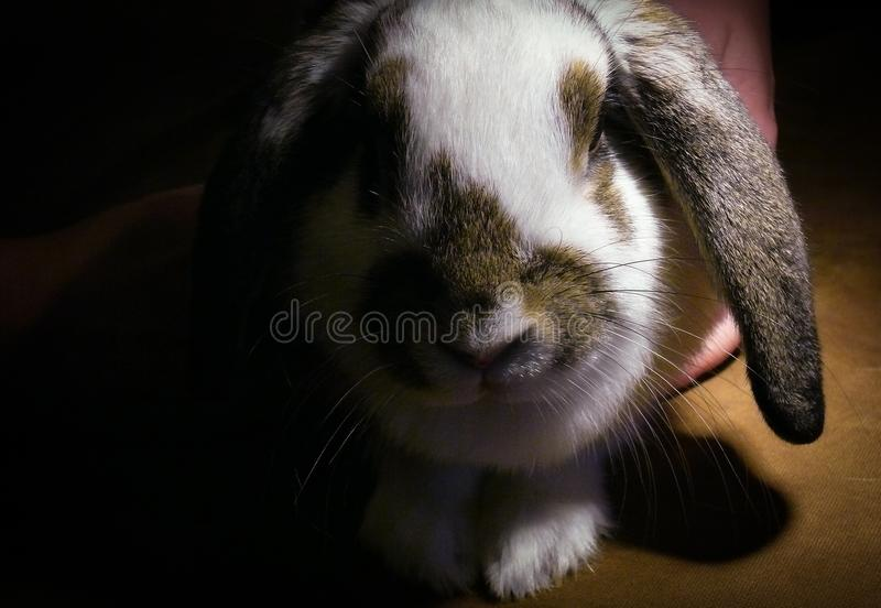 Muzzle of a white-brown rabbit breed lop-eared lamb on a black background stock photo