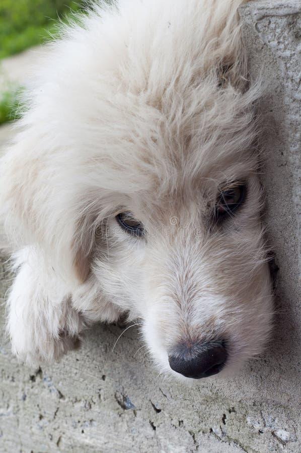 Muzzle white puppy closeup stock images
