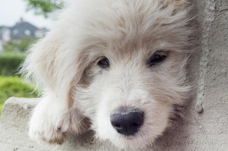 Muzzle white puppy closeup royalty free stock images