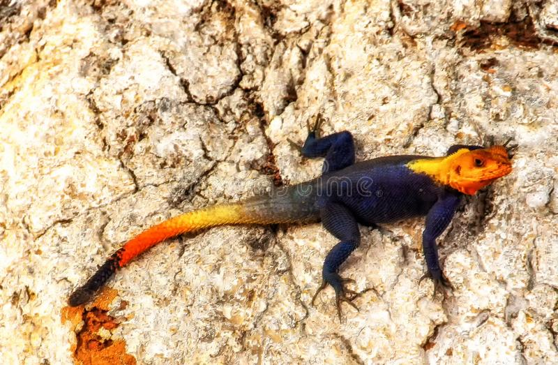 Agama Lizard in Africa stock photography