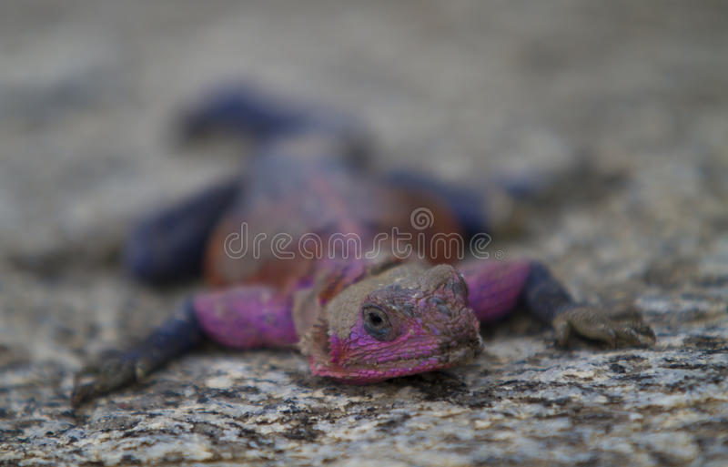 Mwanza flat-headed rock agama stock images