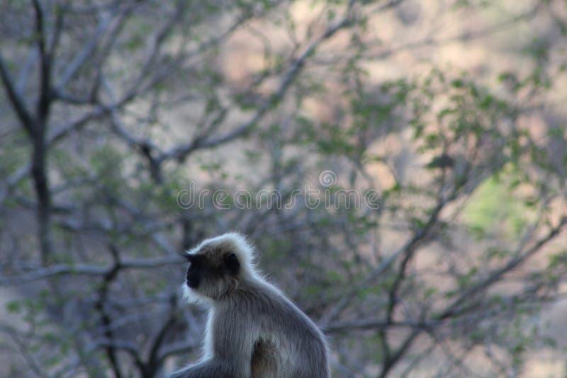 Myśląca małpa zdjęcie royalty free