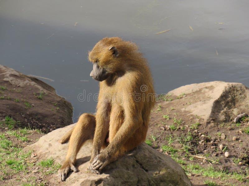 Myśląca małpa fotografia royalty free