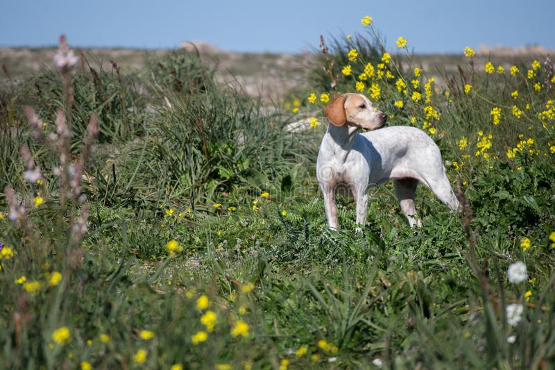 myśliwego psi angielski pointer obrazy stock