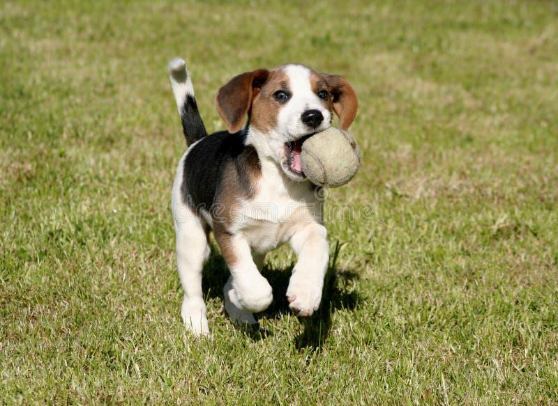 Download My Ball stock image. Image of small, beagle, purebread - 804501