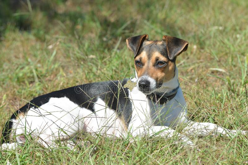 Jack russell terrier, bitch of black-white-brown ointment. My bitch is resting in the meadow on a hot day royalty free stock photos