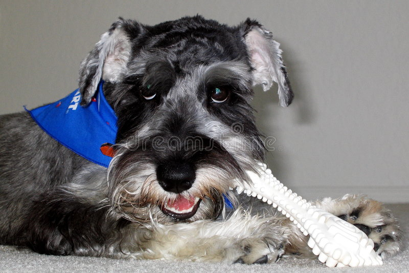 Dog eating bone royalty free stock images