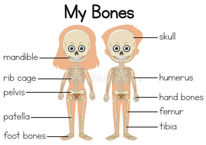 24 Cartoon Of A Where Is The Humerus Bone Illustrations, Royalty-Free  Vector Graphics & Clip Art - iStock