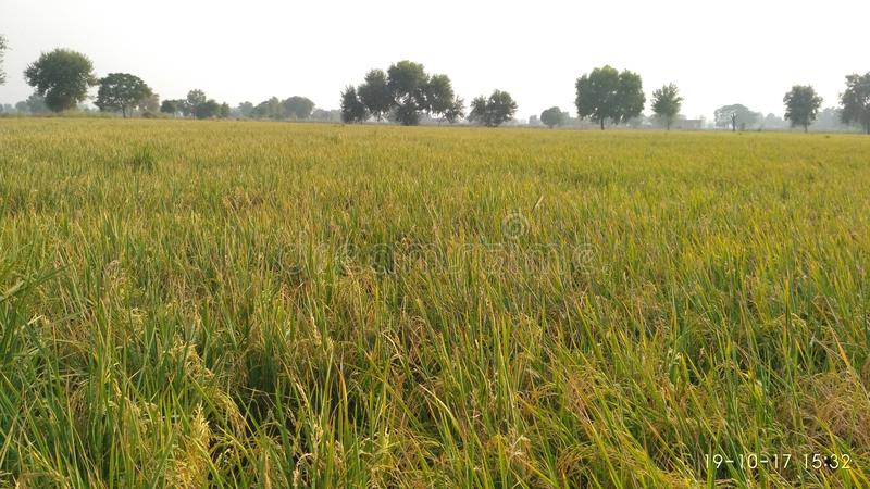 Rice fields ... :. My click royalty free stock photography