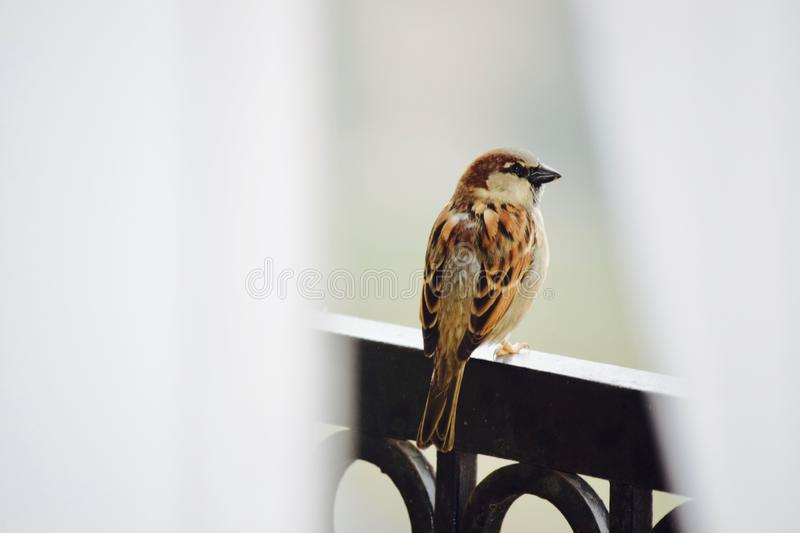 My Cute Fine Feathered Friend. The House Sparrow can be easily seen often just outside our doorways ... very bold and people friendly, they are not shy nor royalty free stock photos