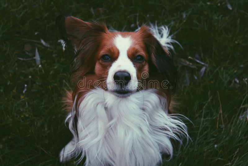 Kooiker, Dog royalty free stock photography