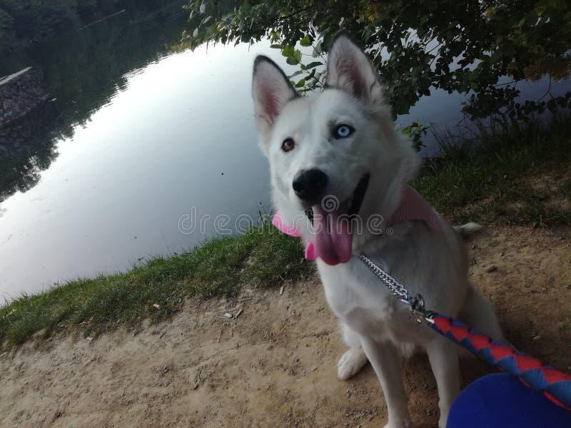 My dog Aria royalty free stock photo