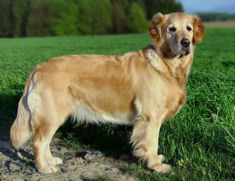 My dog Corny stock photos