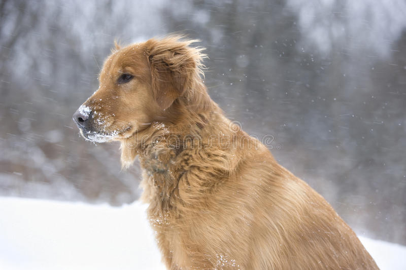 Download My dog loves the snow stock photo. Image of canine, posing - 14255434