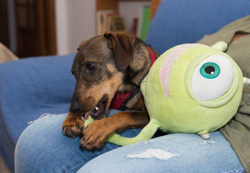 My dogs new toy. My dog Brian playing with its new toy stock photo