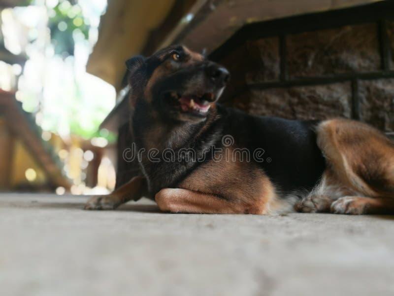 German shepherd dog stock photos