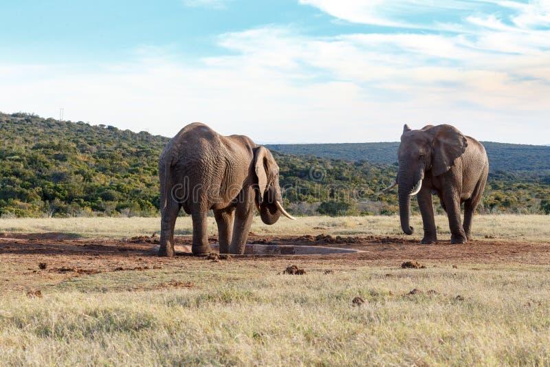 My drinking space - African Bush Elephant stock photos
