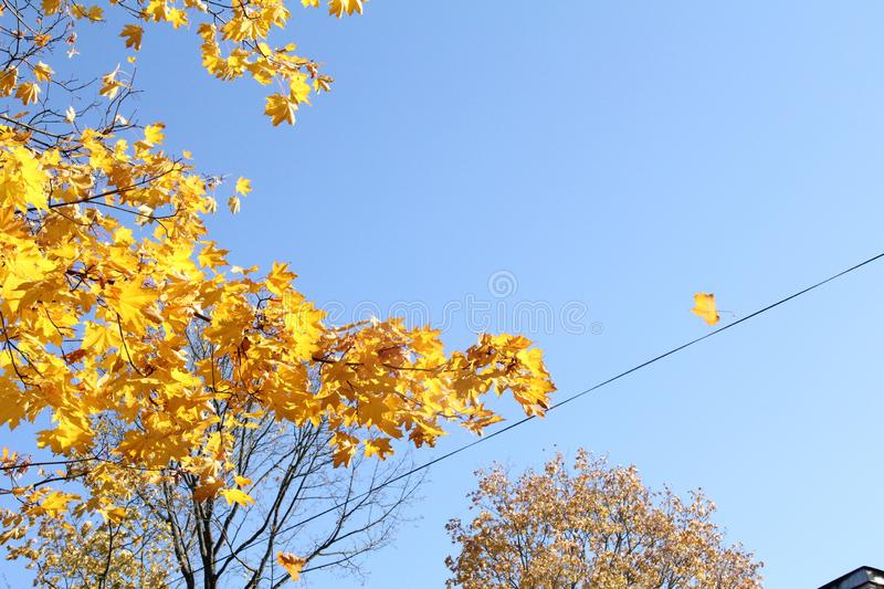 Yellow leaves, blue skies. Yellow maple tree on blue sky background royalty free stock photography