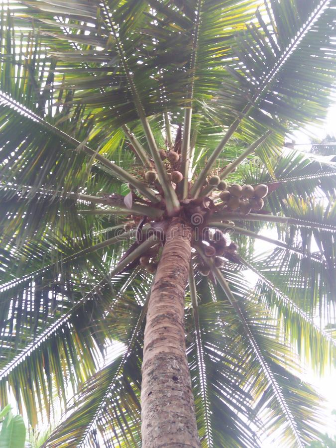 My first click. Coconut tree Kerala stock image