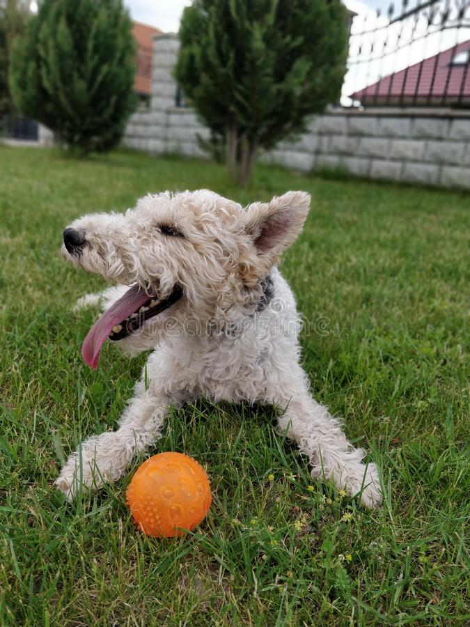 fox terrier royalty free stock images