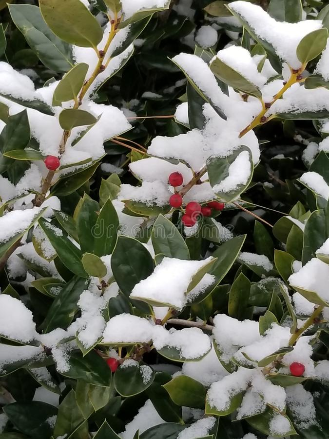 Holly Bush. My holly bush in the backyard on a cold day stock image