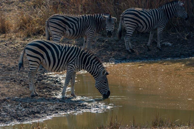 Zebras gather around pond to drink, Matopos, Zimbabwe. During my holydays had the opportunity to visit Zimbabwe and its great wildlife stock photo