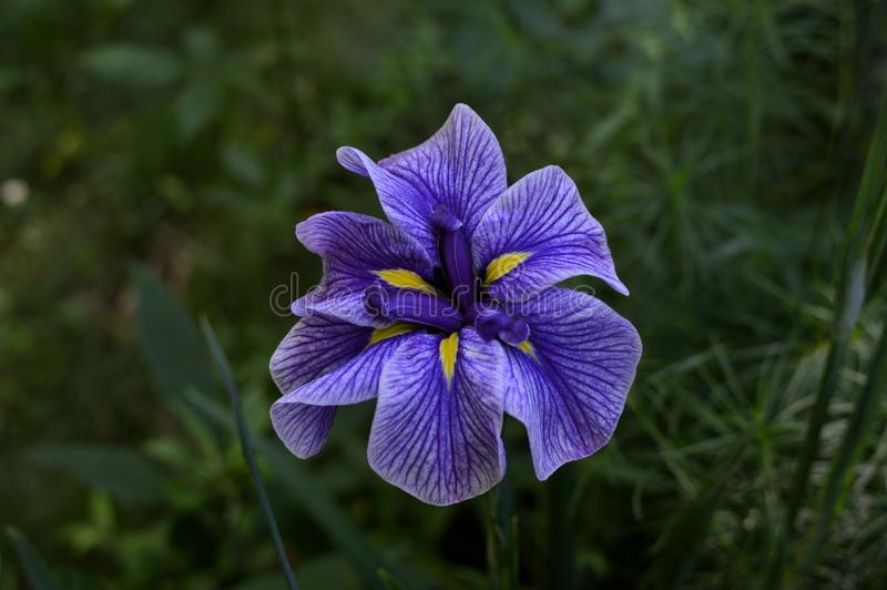 `My Iris` low key purple iris with bokeh background unretouched photo. This 6000 x 4000 HD photo features an award winning purple iris in full bloom with a low stock images
