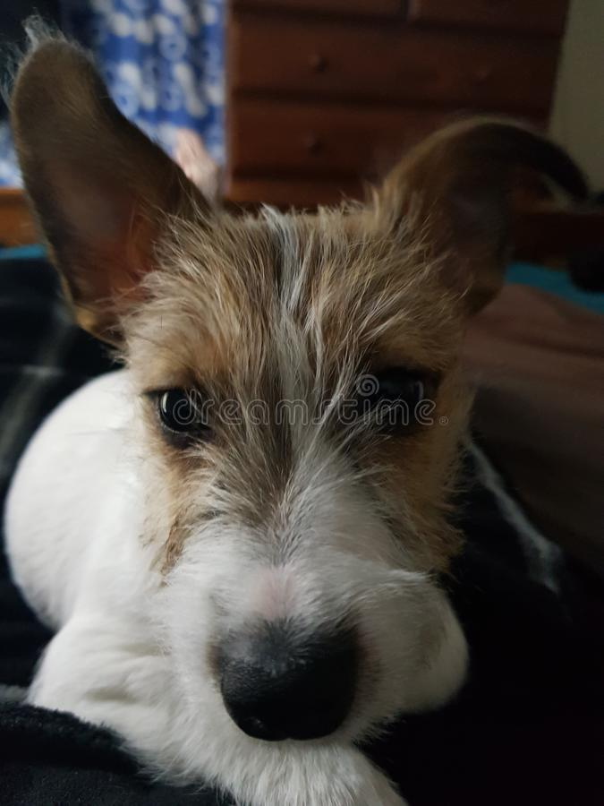 My Jack Russell Puppy Has Her Eye On Me royalty free stock photo