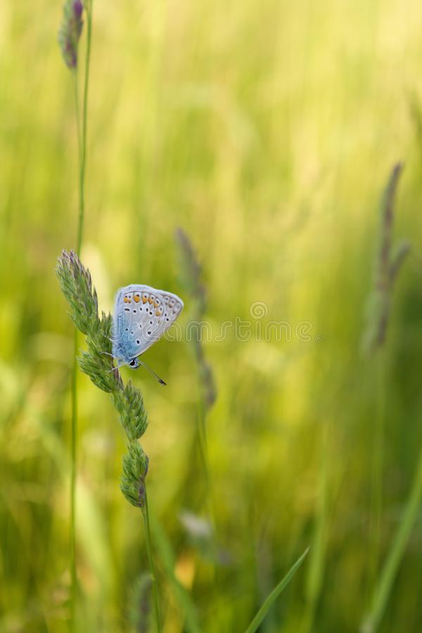 Fairy Buttefly stock image